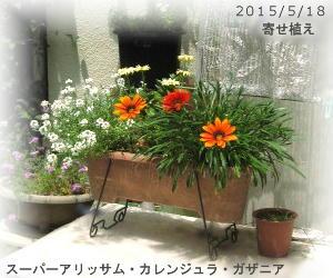 2015/5/18、寄せ植えプランター スーパーアリッサム・カレンジュラ・ガザニア