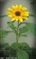 2015/7/7、去年の鉢の残存種からひまわり咲いたー