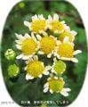 2015/9/4、天候不順のせい? 舌状花(白い花弁)が育成不良で短く開ききらない