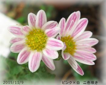 2015/11/9、ピンク×白 二色咲き菊