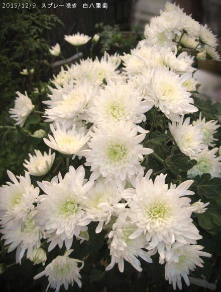 2015/12/9、白八重菊 スプレー咲き