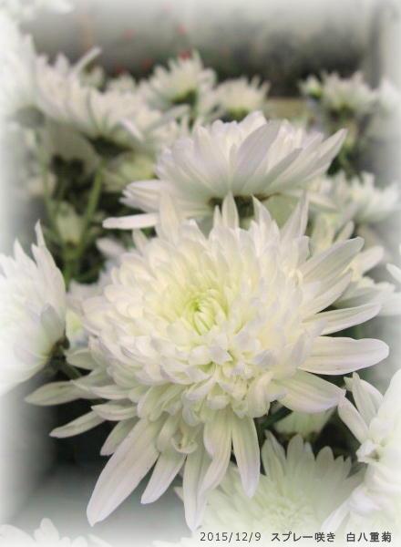 2015/12/9、白八重菊