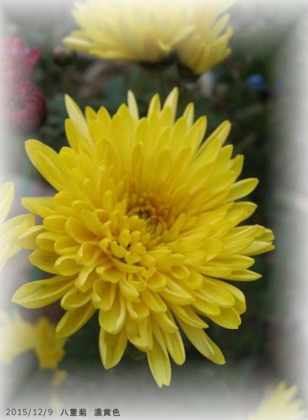 2015/12/9、八重菊 濃黄色
