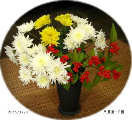 2015/12/9、八重菊・千両