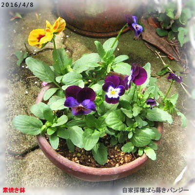 2016/4/8、自家ばら蒔きパンジー 素焼き鉢
