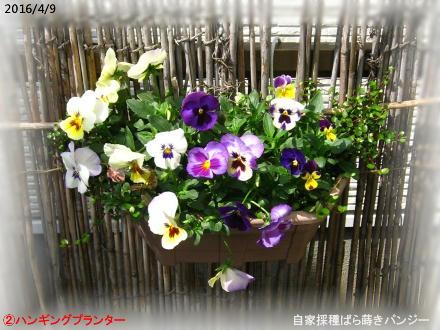 2016/4/9、�ハンギングプランター 自家採種ばら蒔きパンジー