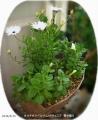 2016/4/15、挿し芽2年目オステオスペルマム(白系)が咲きだした!ペチュニア寄せ植え