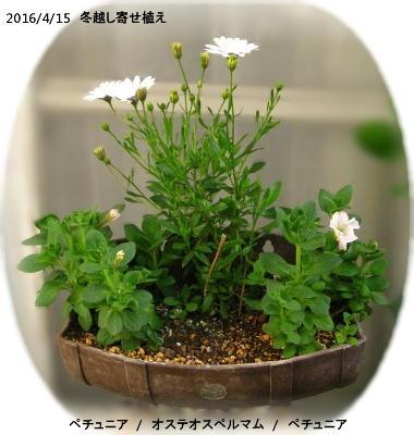 2016/4/15、冬越しオステオスペルマム(白系) ペチュニア寄せ植えプランター
