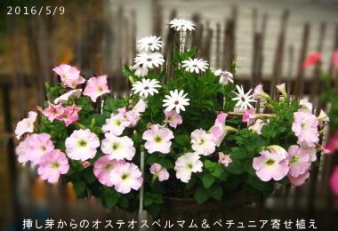2016/5/9、挿し芽からのオステオスペルマム(白)&ペチュニア寄せ植え