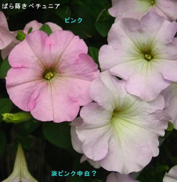 2016/5/6、ペチュニア ピンクと淡ピンク(中白?)