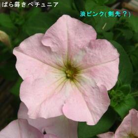2016/5/6、ペチュニア ピンク(剣先?)