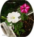 2016/4/26、冬越しペチュニア(宿根)白・赤紫ストライプ