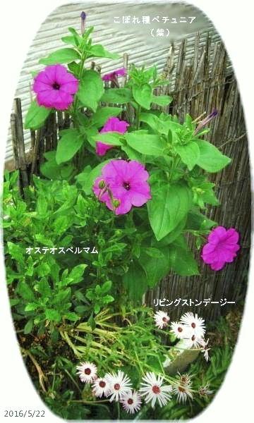 2016/5/22、勝手に寄せ植えに生えてきたペチュニア(こぼれ種)紫