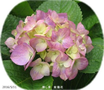 2016/5/31、紫陽花 挿し芽から初開花