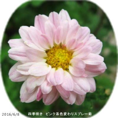 2016/6/8、ピンク系色変わりスプレー菊