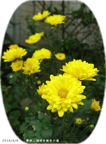 2016/6/8、二期咲き黄色小菊