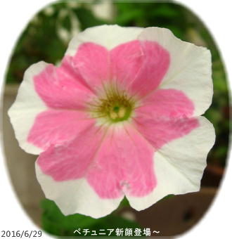 2016/6/29、新顔ペチュニア ピコティ咲きというらしい