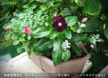 2016/8/11、自家採種蒔き 日々草(黒系) インパチェンスと寄せ植え(ハツユキカズラ添え)