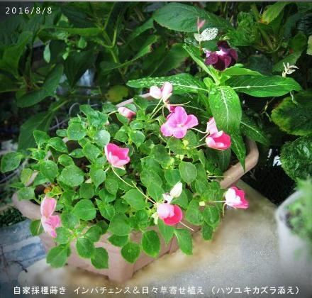 2016/8/8、自家採種蒔き インパチェンス&日々草寄せ植え (ハツユキカズラ添え)