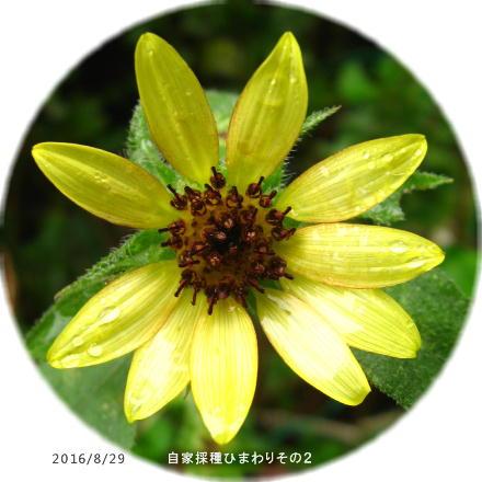 2016/8/29、自家採種蒔きひまわり その2 (レモンイエローだけど微妙な赤?)