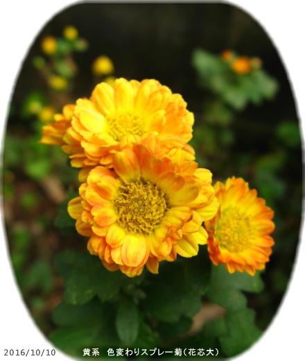 2016/10/10、色変わりスプレー菊 挿し芽で増えたら花芯の大きなタイプに変化した