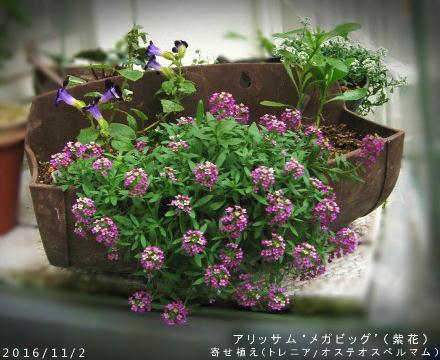2016/11/2、アリッサム'メガビッグ'(紫花) プランター