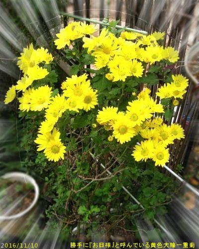 2016/11/10、大輪黄色一重菊の『お日様』ちゃん
