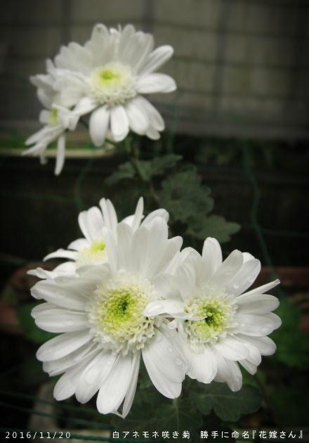 2016/11/20、アネモネ咲き 白菊 『花嫁さん』と呼んでいる