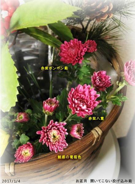 2017/1/4、開いてこない冬菊たち お正月用投げ込み