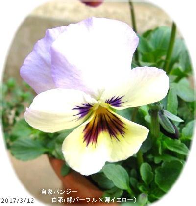 2017/3/12、自家パンジー 白系(縁パープル×薄イエロー)