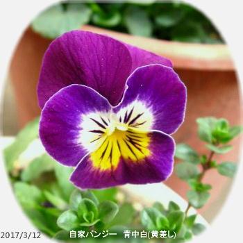 2017/3/12、自家パンジー 青中白(やや黄)