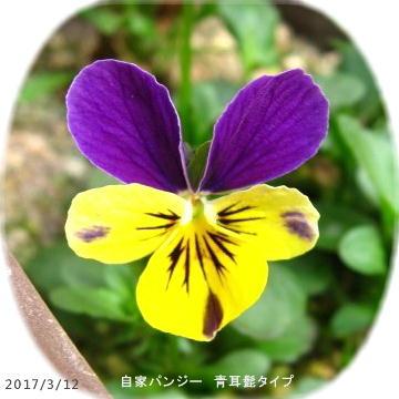 2017/3/12、自家パンジー 青耳×黄(髭)