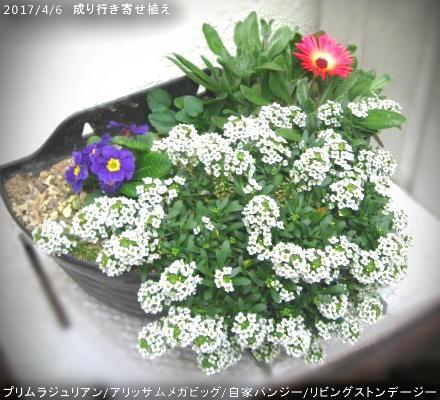 2017/4/6、成り行き寄せ植えに自家採種直蒔きリビングストンデージー開花!