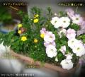 2017/4/25、成り行き寄せ植え ローズピルエット/ムルチコーレ/ダイアンサス/ペチュニア