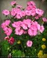 2017/5/11、成り行き寄せ植えの冬越しダイアンサスがいっぱい咲いたー