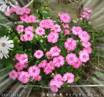 2017/5/11、花壇 挿し芽ダイアンサス(なでしこ)