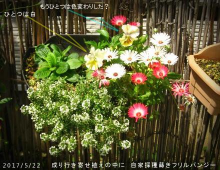 2017/5/22、成り行き寄せ植えに 自家フリルパンジー開花