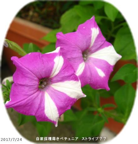 2017/7/24、自家採種蒔きペチュニア ストライプ??