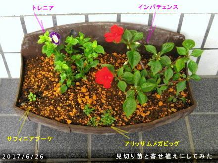 2017//6/26、見切り苗で寄せ植えてみた