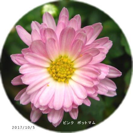 2017/10/5、ピンクポットマム 花芯部が白い
