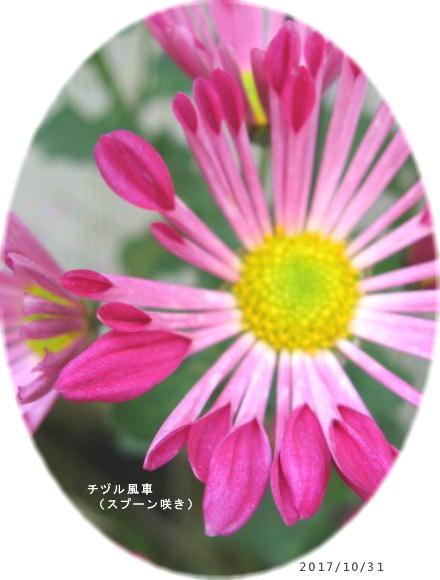 2017/10/31、風車菊はスプーン咲き(チヅル風車)