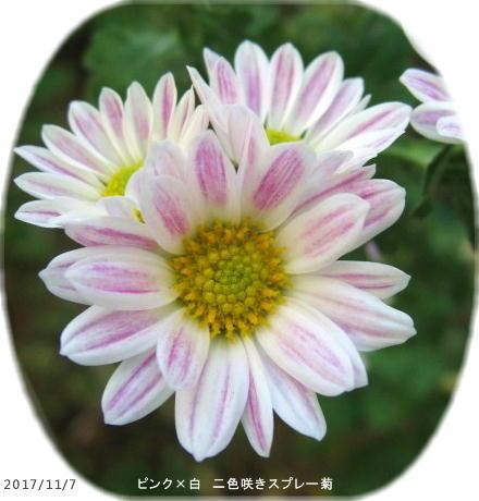 2017/11/7、二色咲きスプレー菊(ピンク系)