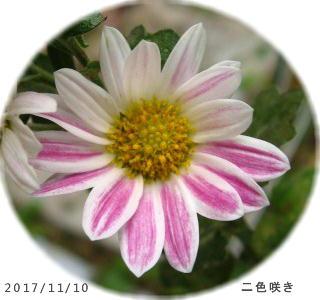 2017/11/10、二色咲きスプレー菊(ピンク系)
