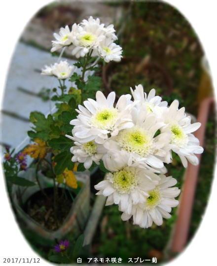 2017/11/12、アネモネ咲き白スプレー菊