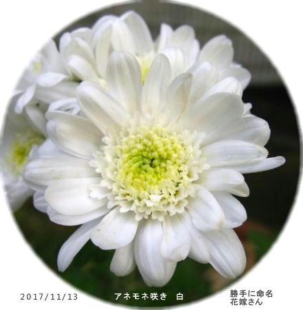 2017/11/13、アネモネ咲き 花芯開きだし