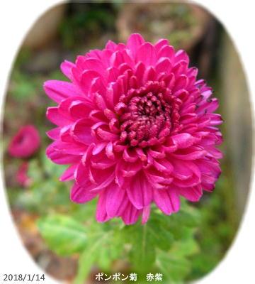 2018/1/14、赤紫 ポンポン菊
