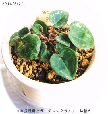 2018/2/24、自家採種蒔きガーデンシクラメン 鉢植え