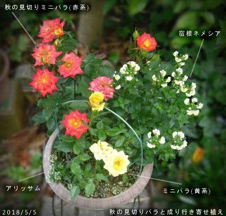 2018/5/5、秋の見切りミニバラで 成り行き寄せ植え