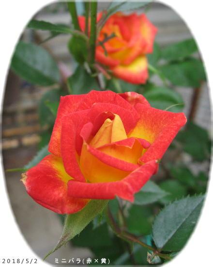 2018/5/2、ミニバラ 赤×黄色
