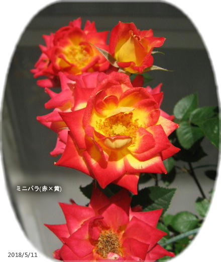 2018/5/11、ミニバラ(赤×黄) 開くと赤がやたらとくどい